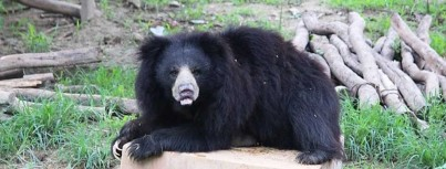sloth bear conservation center